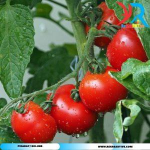 tomat hasil sistem aeroponik